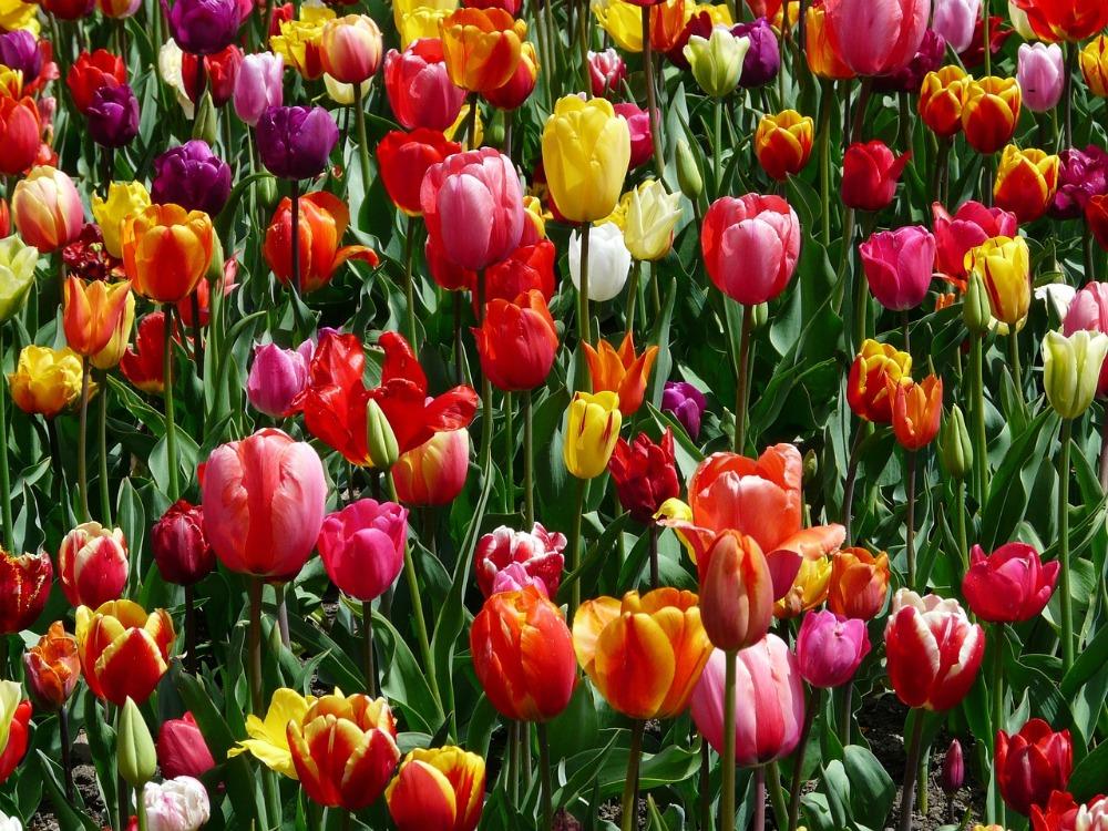 Tulpen zijn terug, de lente komt er aan