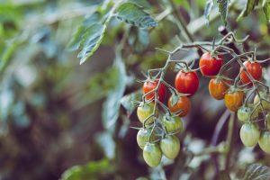 Je eigen tomaten laten groeien