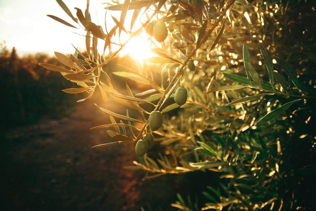 Haal ook een olijfboompje in huis
